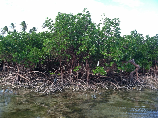 Mangrove trees on the beach in Nabila Village